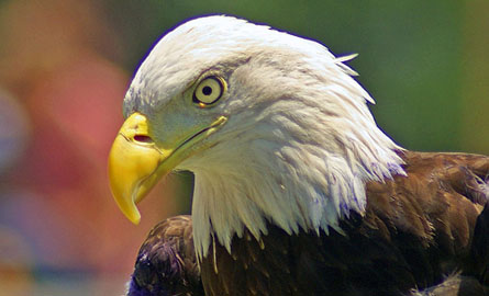 focused-eagle.jpg