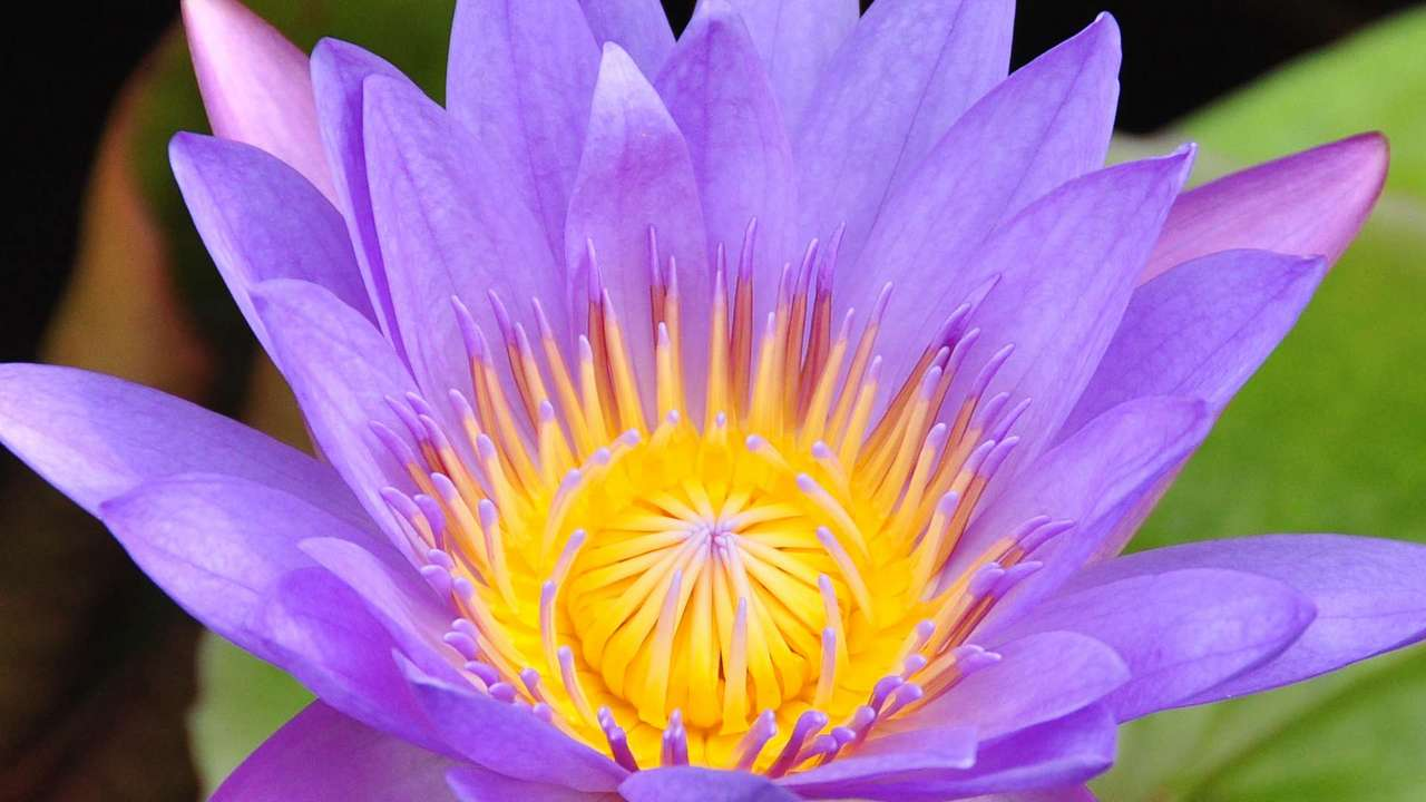 WaterLily1-DSC_5370-1280x720
